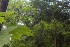 Tall-pine-KenvilleRavine_0