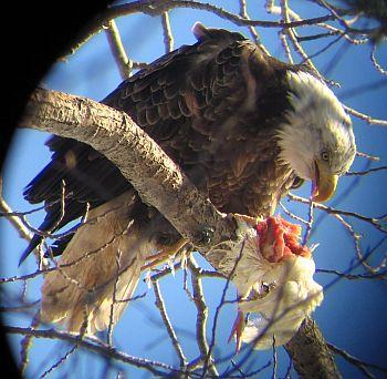 Eagle-eating