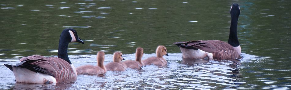 header-canadageese